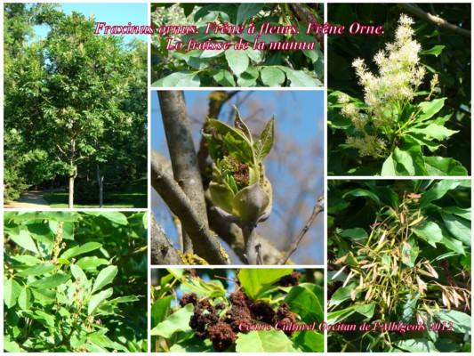 Lo Fraisse de la manna (Frêne à fleurs, Orne)