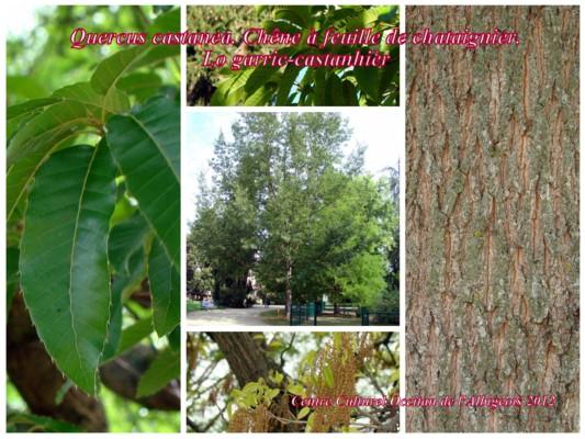 Lo Garric-castanhièr (Chêne à feuille de châtaignier)
