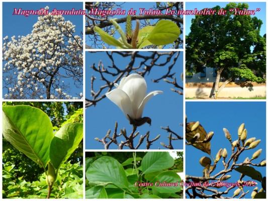 Lo Manholièr de Yulan (Magnolia de Yulan)
