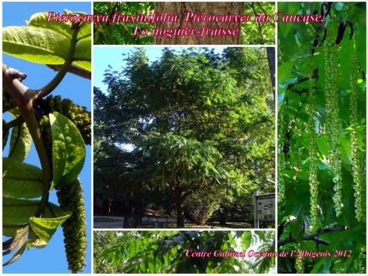 Lo Nogièr-fraisse (Ptérocaryer du Caucase)