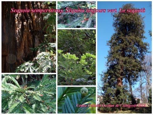 Lo Sequoià (Sequoia toujours vert)