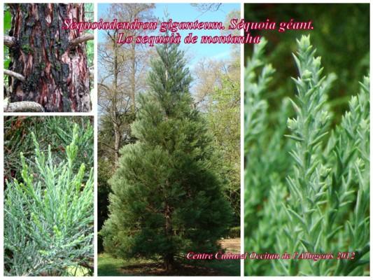 Lo Sequoià de montanha (Sequoia géant)