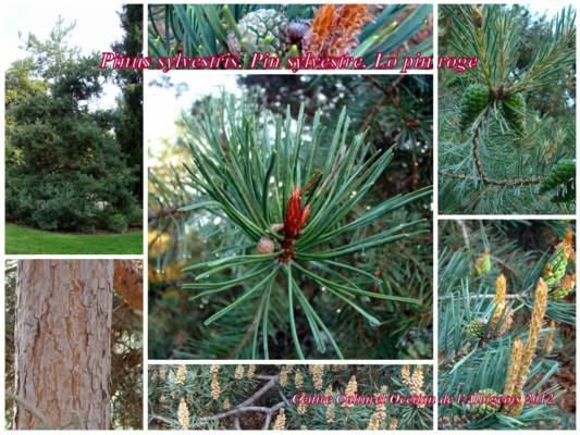 Lo pin roge (Pin sylvestre)