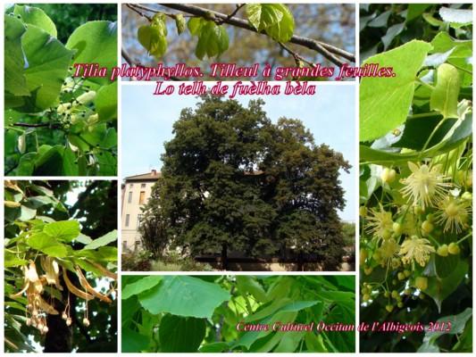 Lo telh de la fuèlha bèla (Tilleul à grandes feuilles)